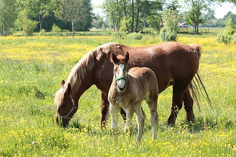 Kaltblut horse animal halter thumbnail