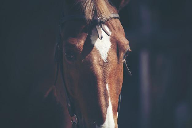 Retratos de cavalo castanho 33755 5523