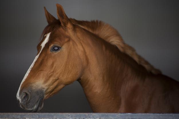 Close up do cavalo marrom elegante 1122 701