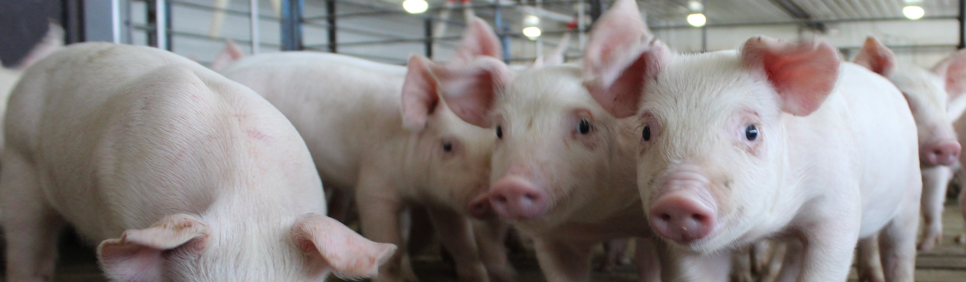Greater production efficiency and a precision feeding model could emerge from uk pig project