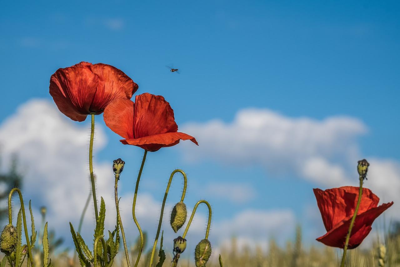 Poppies 4279374 1280