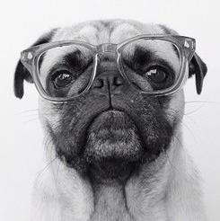 Pug teacher